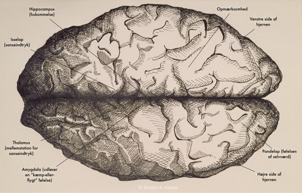 Hjerne med tekst © KirstenKKester.com | Kirsten K. Kester